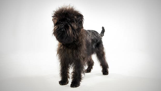 Affenpinscher : Dog Breed Selector : Animal Planet