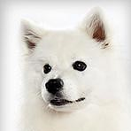 American Eskimo Dog (Standard)