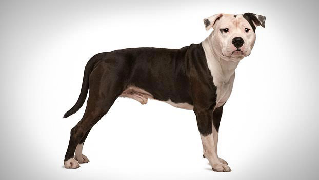 american staffordshire terrier guide terrier dog breeds