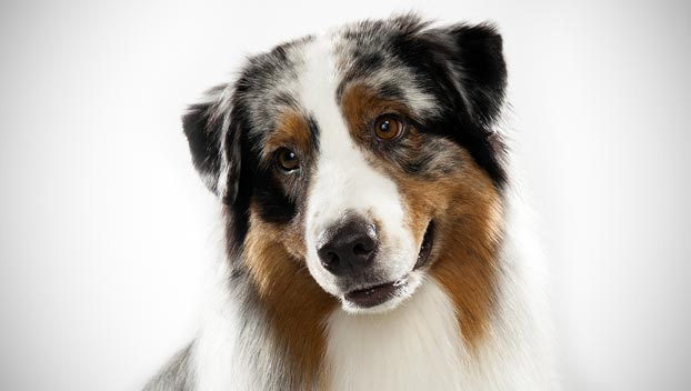 Is the Australian Shepherd right for you? Find your perfect match now!