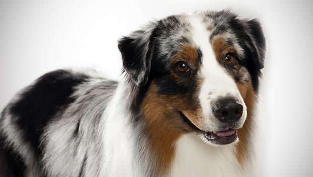 australian shepherd   dog breed selector   animal planet