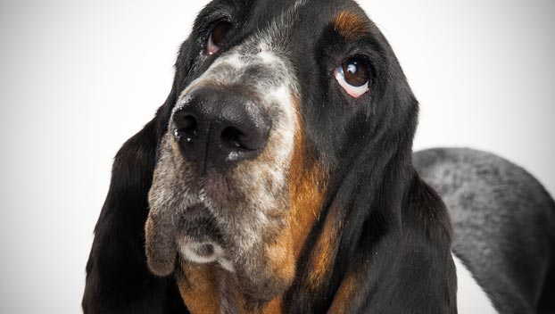 basset hound dog breed selector animal planet