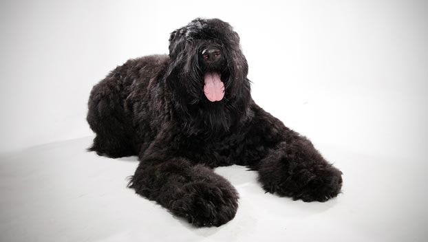Black Russian Terrier : Dog Breed Selector : Animal Planet Black Russian Terrier