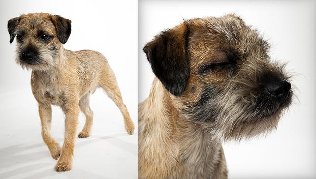Border Terrier Dog Breed Selector Animal Planet