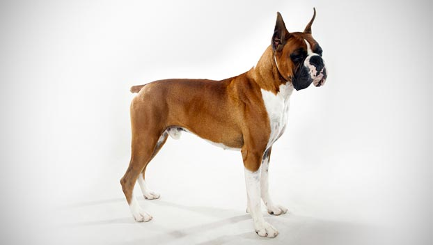 boxer dog breed selector animal planet