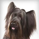 Briard