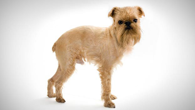Brussels Griffon Dog Breed Selector Animal Planet