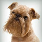 Brussels Griffon