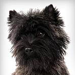 Cairn Terrier