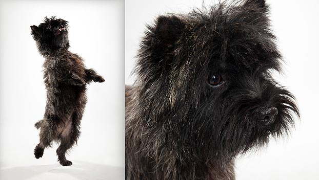 cairn terrier grooming instructions