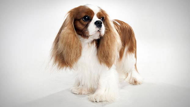 Cavalier King Charles Spaniel : Dog Breed Selector : Animal Planet