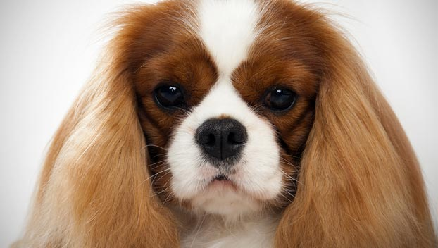 Cavalier King Charles Spaniel : Dog Breed Selector ...