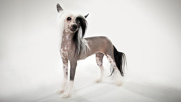 Chinese Crested : Dog Breed Selector : Animal Planet