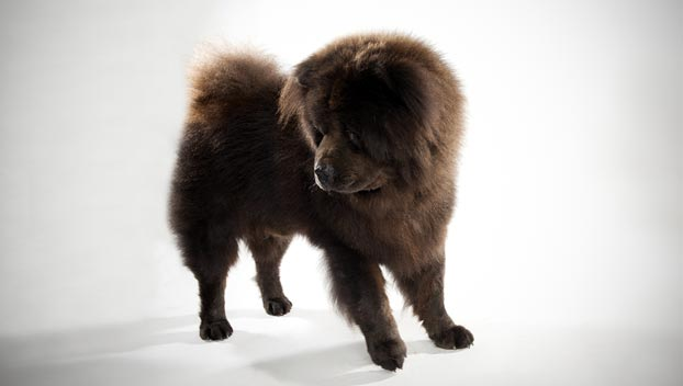 Black Chow Chow Lion Cut Chow chow