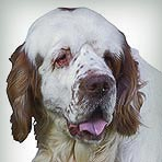Clumber Spaniel