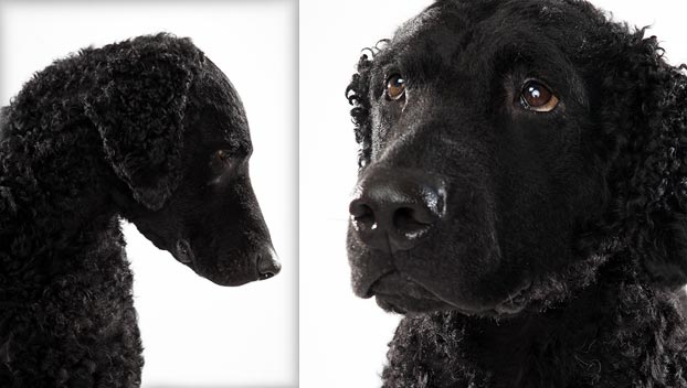 Curly-Coated Retriever
