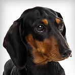 Dachshund (Miniature)
