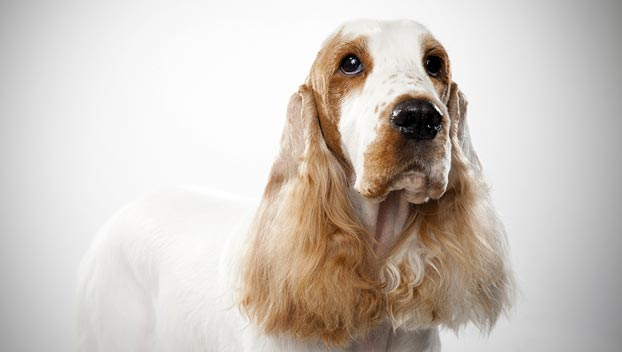 English Cocker Spaniel...