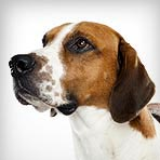 English Foxhound
