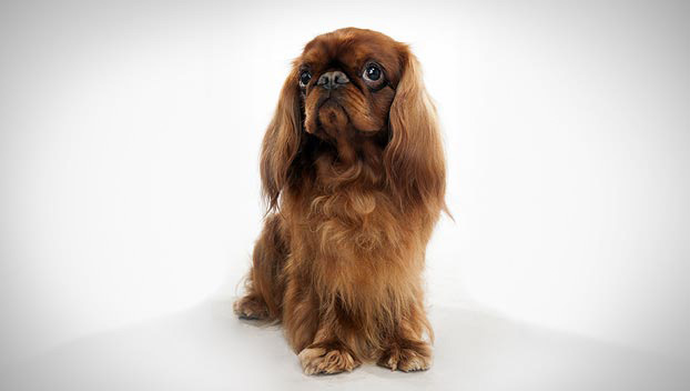 English Toy Spaniel : Dog Breed Selector : Animal Planet