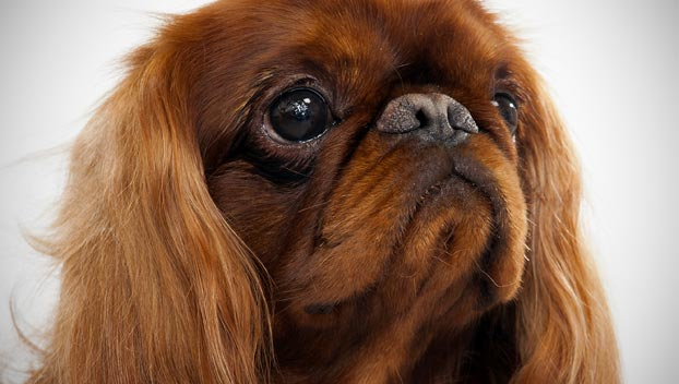 Toys Names in English English Toy Spaniel
