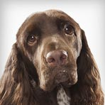 Field Spaniel