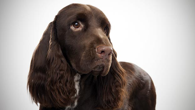 Field Spaniel : Dog Breed Selector : Animal Planet