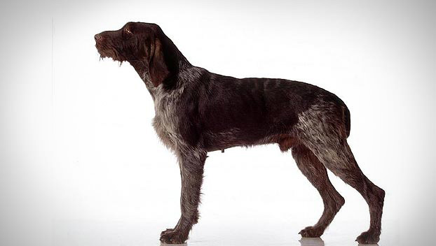 Is the German Wirehaired Pointer right for you? Find your perfect