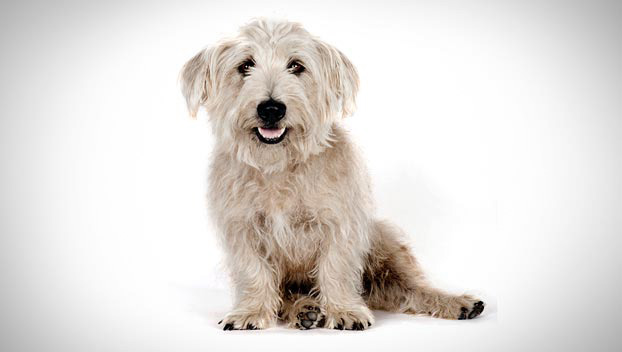 Is the Glen of Imaal Terrier right for you? Find your perfect match ...