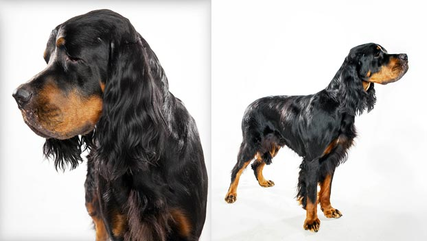 Gordon Setter : Dog Breed Selector : Animal Planet