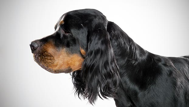 Gordon Setter Dog Breed Selector Animal Planet