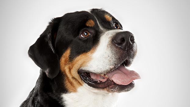 Greater Swiss Mountain : Dog Breed Selector : Animal Planet