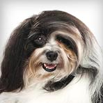 Havanese