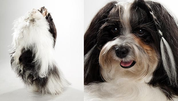 Havanese : Dog Breed Selector : Animal Planet Bichon Frise Akc