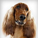 Irish Setter