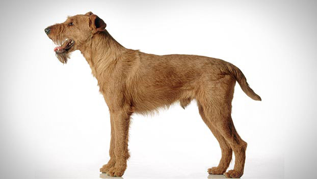 irish terrier guide terrier dog breeds