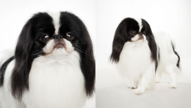 Japanese Chin : Dog Breed Selector : Animal Planet
