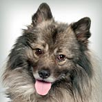 Keeshond