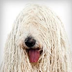 Komondor