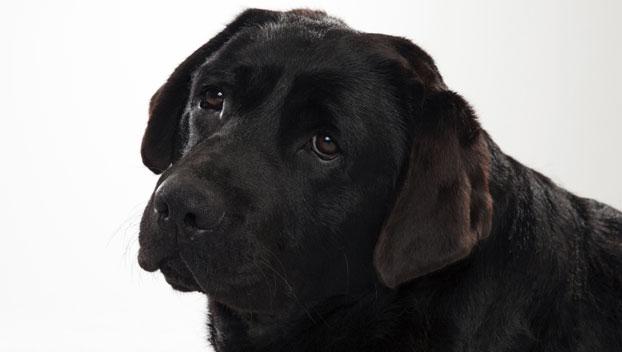 Labrador Retriever Dog Breed