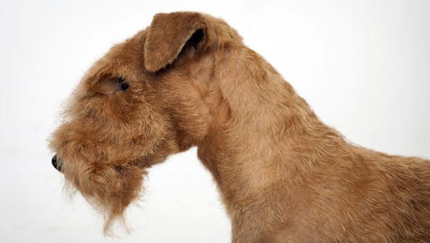 Lakeland Terrier Weight Lakeland Terrier