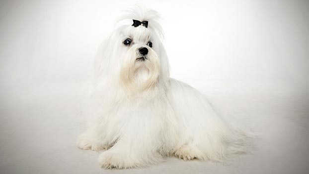 Maltese : Dog Breed Selector : Animal Planet