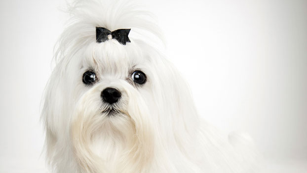 Maltese : Dog Breed Selector : Animal Planet Bichon Frise Akc