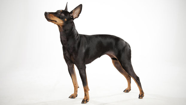 manchester toy terrier - photo #30