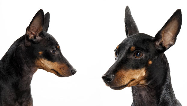 manchester toy terrier - photo #21