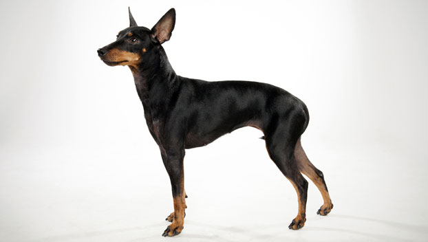 Toy Manchester Terrier : Manchester terrier toy dog breed selector animal planet