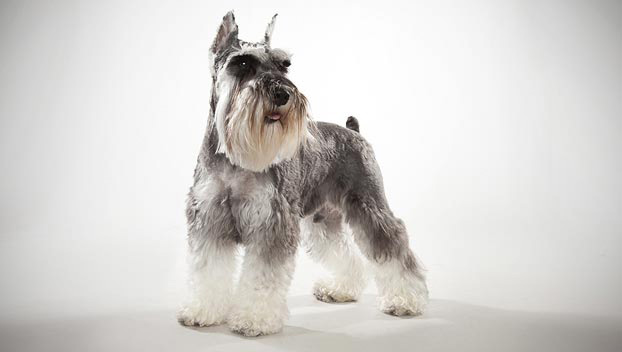 Miniature Schnauzer Dog Breed Selector Animal Planet