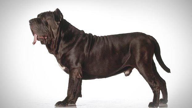 Is the Neapolitan Mastiff right for you? Find your perfect match now!