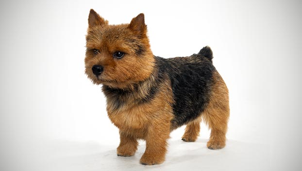 What is terrier breed