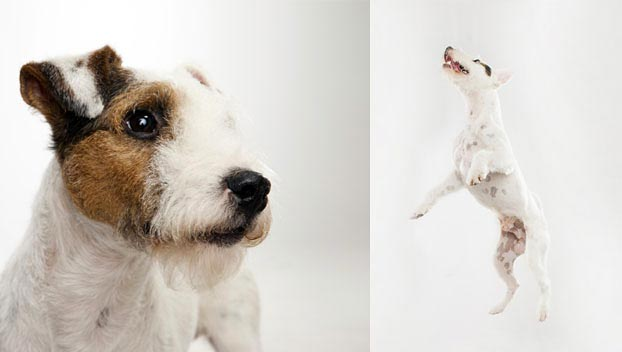 Parson Russell Terrier : Dog Breed Selector : Animal Planet